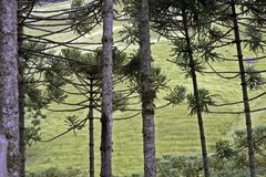 Brazilian pine forest. Tree symbol of the mountainous regions of Southern Brazil Royalty Free Stock Photos