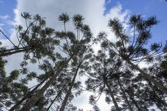 Brazilian pine forest. Tree symbol of the mountainous regions of Southern Brazil Stock Photos