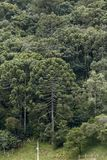Brazilian pine forest, in the farm pasture. Brazilian pine forest, in the middle of a farm pasture, guaranteeing protection to the species threatened with Stock Image