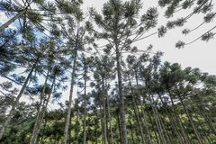 Brazilian pine forest. Tree symbol of the mountainous regions of Southern Brazil Royalty Free Stock Photography
