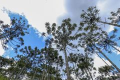 Brazilian pine forest. Tree symbol of the mountainous regions of Southern Brazil Stock Image