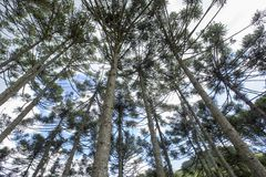 Brazilian pine forest with blue sky and clouds. Brazilian pine forest, tree symbol of the mountainous regions of Southern Brazil Royalty Free Stock Photography