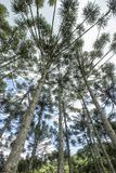 Brazilian pine forest with blue sky and clouds. Brazilian pine forest, tree symbol of the mountainous regions of Southern Brazil Stock Photos
