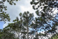 Brazilian pine forest with blue sky and clouds. Brazilian pine forest, tree symbol of the mountainous regions of Southern Brazil Royalty Free Stock Photo