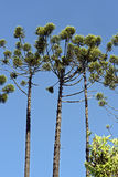Brazilian pine tree under blue sky Stock Image