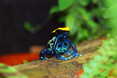 Brazilian poison dart frog. Black, yellow and blue. stock image