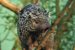 Brazilian porcupine Royalty Free Stock Image