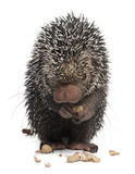 Brazilian Porcupine, Coendou prehensilis Stock Photo