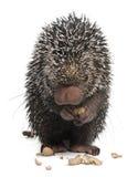 Brazilian Porcupine, Coendou prehensilis Stock Photo