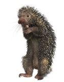 Brazilian Porcupine, Coendou prehensilis Stock Image