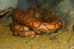Brazilian Rainbow Boa (Epicrates cenchria) Royalty Free Stock Photography