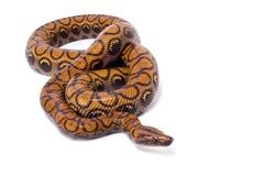 Brazilian rainbow boa, Epicrates cenchria cenchria. The Brazilian rainbow boa, Epicrates cenchria cenchria, is a large non venomous snakes species found in Stock Photo