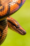 Brazilian Rainbow Boa Snake Royalty Free Stock Photos
