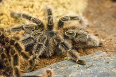 Brazilian red birdeater tarantula Royalty Free Stock Images
