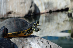Brazilian red-eared turtle. Brazilian red-eared slider sunbathing on a rock in the middle of a lake Royalty Free Stock Image