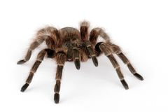 Brazilian Red Tarantula. (Nhadu carapoensis Royalty Free Stock Photo