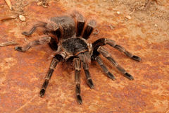 Brazilian Red Tarantula Stock Images