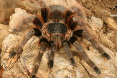 Brazilian Red Tarantula  (Nhadu carapoensis) Stock Photo