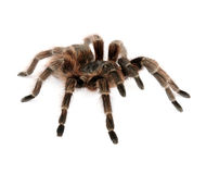 Brazilian Red Tarantula Royalty Free Stock Images