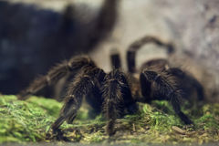 Brazilian salmon pink bird-eating tarantula (Lasiodora parahyban Stock Image