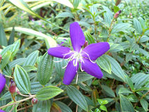 Brazilian spider flower Royalty Free Stock Images