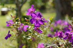 Brazilian Spider Flower in the forest. Brazilian Spider Flower in the forest at the Northern of thailand Stock Photography