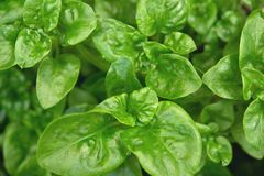 Brazilian spinach plant royalty free stock photography