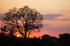 Brazilian Sunset: Naked Tree Silhouette Stock Image