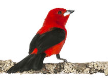 Brazilian Tanager perched on a branch - Ramphocelus bresilius Royalty Free Stock Photo