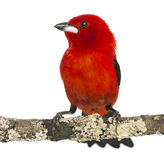 Brazilian Tanager perched on a branch - Ramphocelus bresilius Royalty Free Stock Image