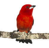 Brazilian Tanager perched on a branch - Ramphocelus bresilius Royalty Free Stock Photos