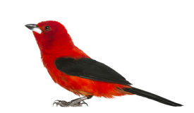 Brazilian Tanager - Ramphocelus bresilius Stock Photography