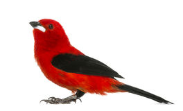 Brazilian Tanager - Ramphocelus bresilius Royalty Free Stock Photos