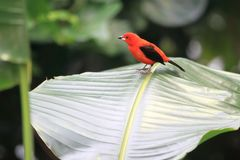 Brazilian tanager. Standing on the leaf Stock Images