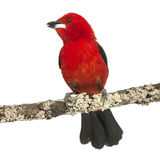 Brazilian Tanager tweeting perched on a branch Stock Images