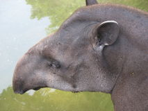 Brazilian tapir Royalty Free Stock Photo