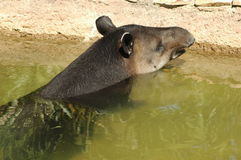 Brazilian Tapir. A Brazilian tapir cooling off in the water Royalty Free Stock Images
