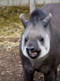 Brazilian Tapir with a big smile royalty free stock photos