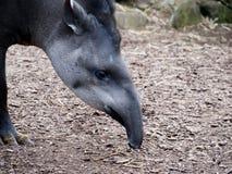 Brazilian Tapir feeding royalty free stock photos