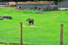Brazilian tapir. In a field with its living accommodation in background Stock Photography