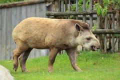 Brazilian tapir Stock Images