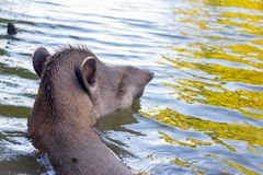 Brazilian Tapir Swimming Stock Photo
