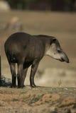 Brazilian tapir, Tapirus terrestris, Stock Image