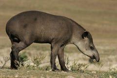 Brazilian tapir, Tapirus terrestris, Stock Images