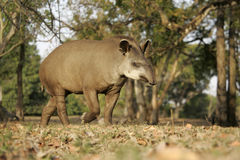 Brazilian tapir, Tapirus terrestris, Royalty Free Stock Images