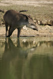 Brazilian tapir, Tapirus terrestris, Royalty Free Stock Photos