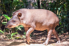 Brazilian Tapir Walking Royalty Free Stock Photos