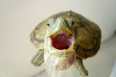 Brazilian tortoise Royalty Free Stock Photo