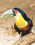 Brazilian Toucan Stock Photography