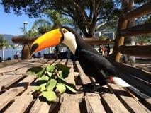 Brazilian Toucan. Rodrigo de Freitas lagoon - Rio de janeiro Stock Image